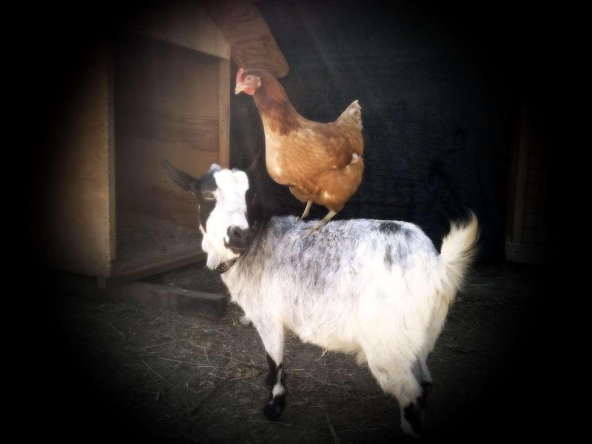 Gli animali della fattoria di Villa Alda - Pietra Ligure con i bambini